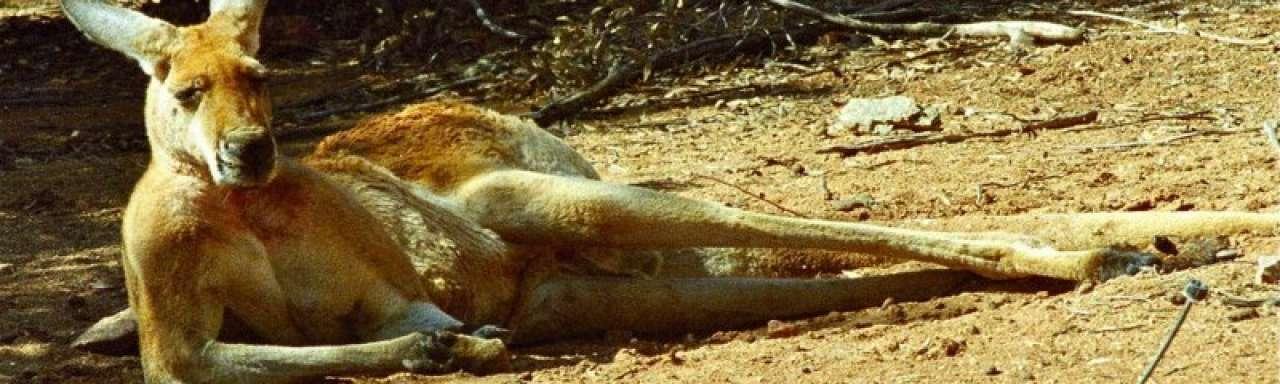 En nu ook: het kangoeroevleesschandaal