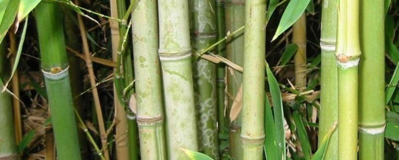 Afrika zet in op duurzame bamboe-industrie
