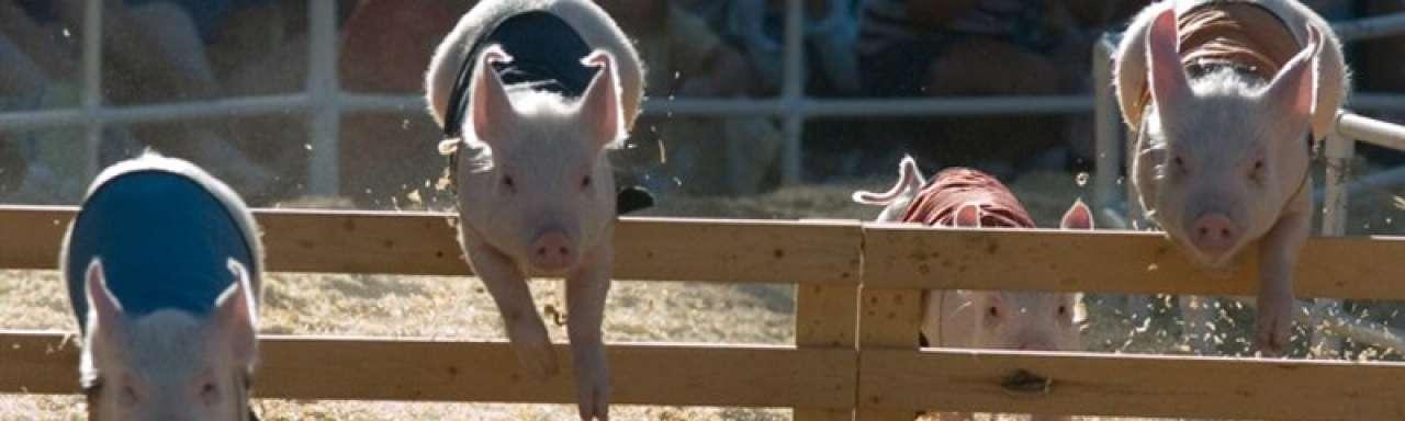 Varkens krijgen 'afleidingsmateriaal' tegen verveling
