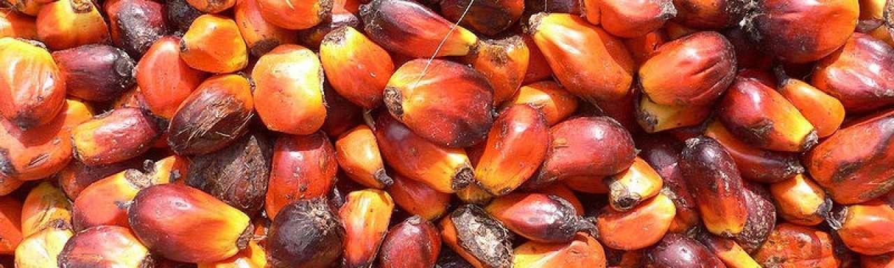 Kameroen stopt omstreden palmolieproject