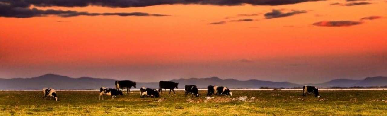 Kerriedieet voor koeien helpt in strijd tegen methaanuitstoot