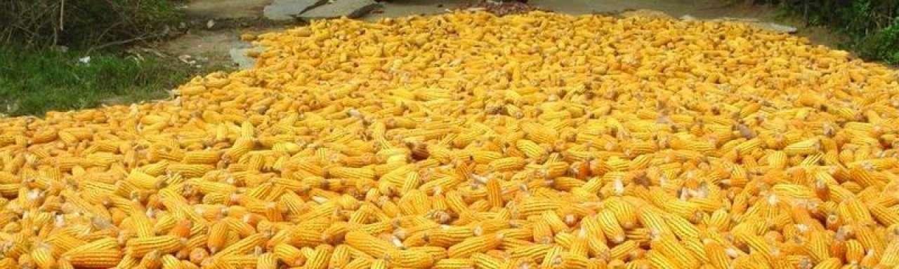 Gevaar genetisch gemodificeerd voedsel onderschat