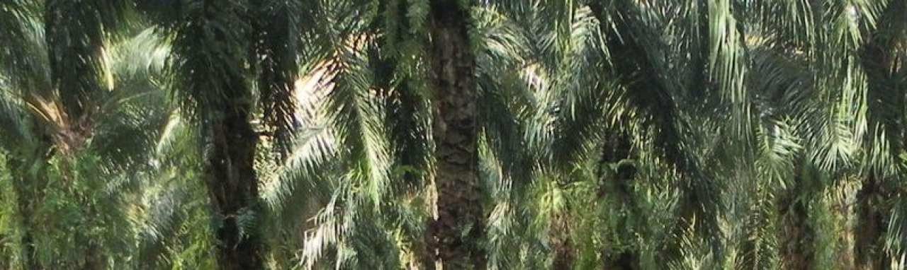 'Duurzame' palmolie blijkt soms onethisch