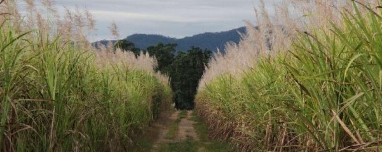 Bacardi wil 100% duurzame suikerriet