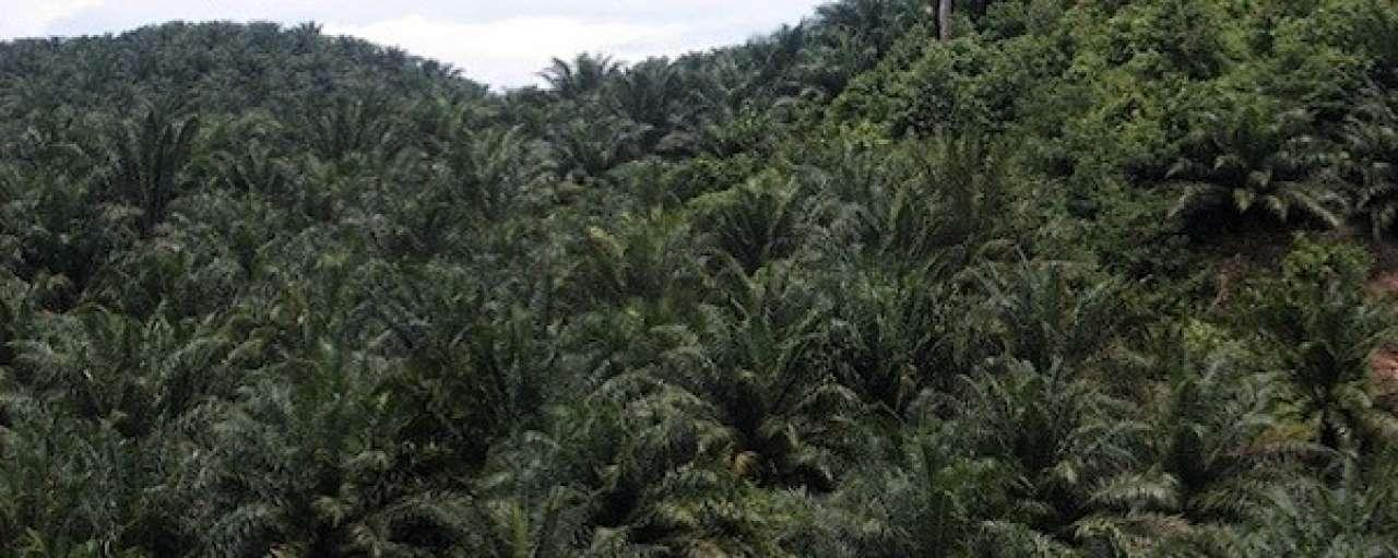 Grootste palmoliebedrijven staken ontbossing