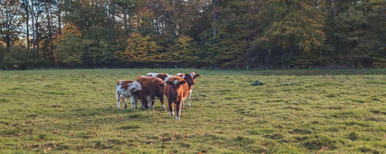 weidegang koeien