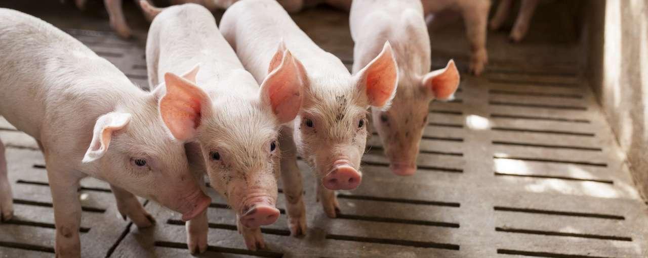 antibioticavrij varkensvlees