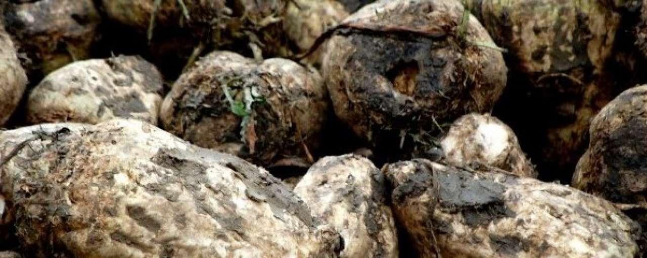 AkzoNobel zoekt business case voor suikerbiet