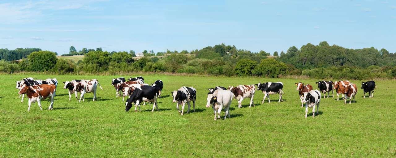 koeien, verduurzaming, klimaatakkoord