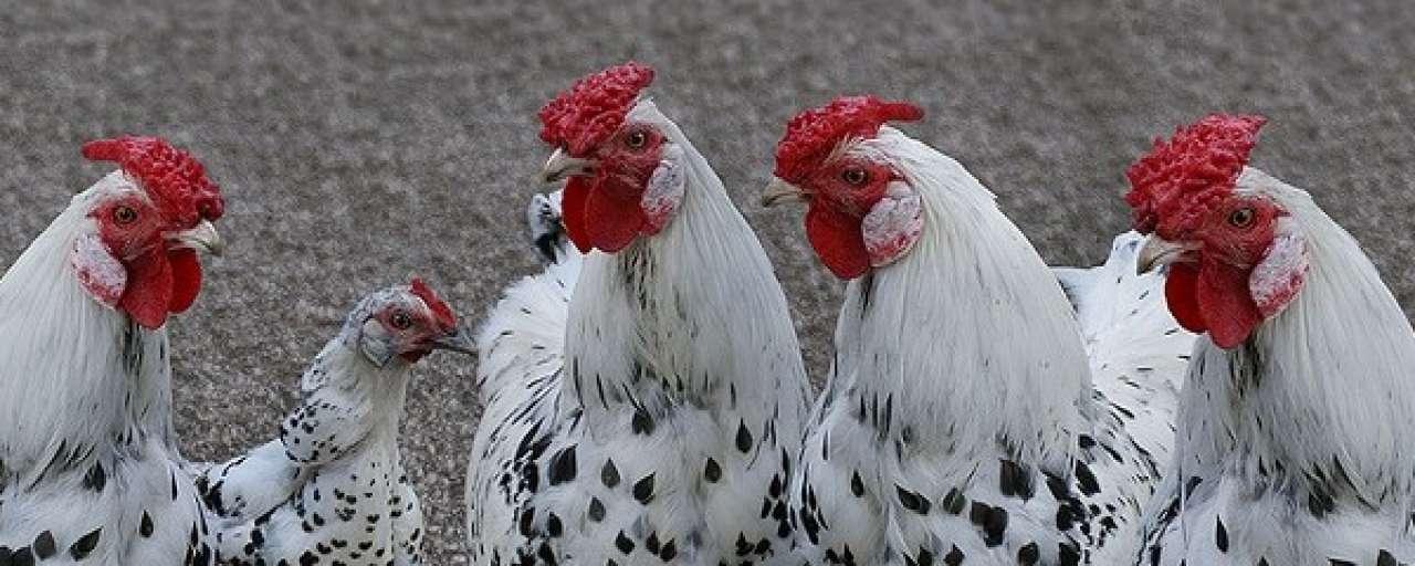 Inkooporganisatie VS bant antibiotica-kip uit