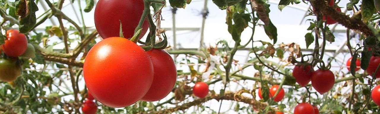 Bayer helpt Chinese tomatenteelt verduurzamen