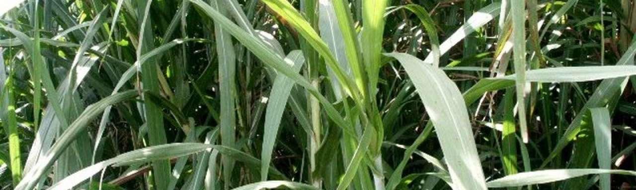 Miljoenen liters ethanol uit Braziliaans bio-afval