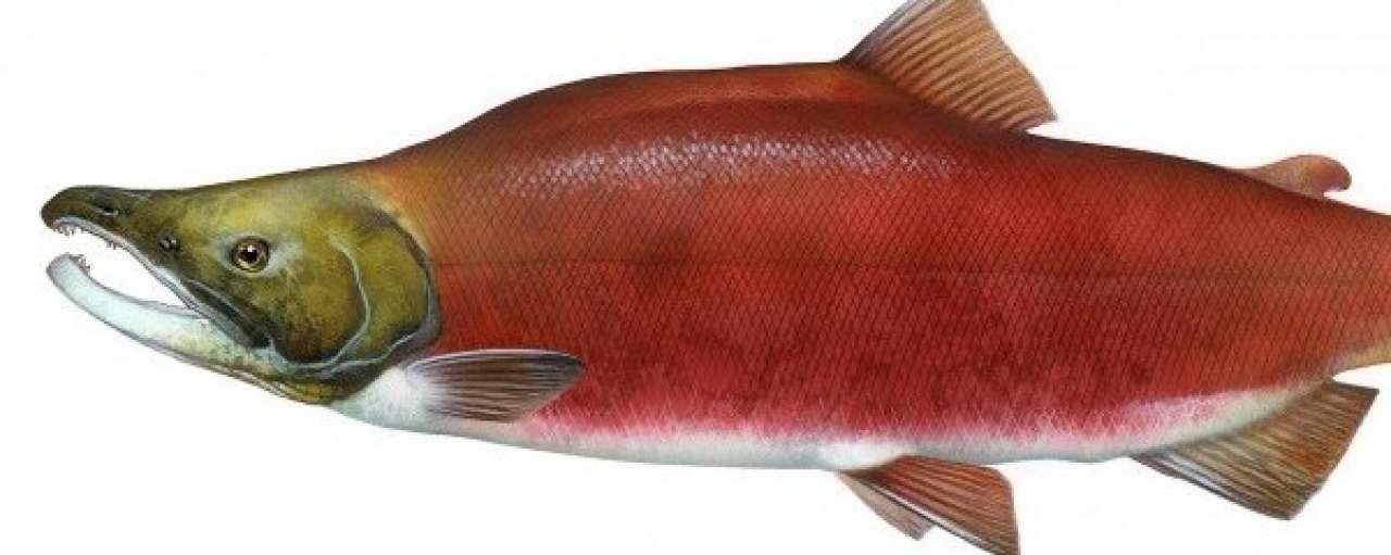 De verrassende toepassingen van vissenzaad