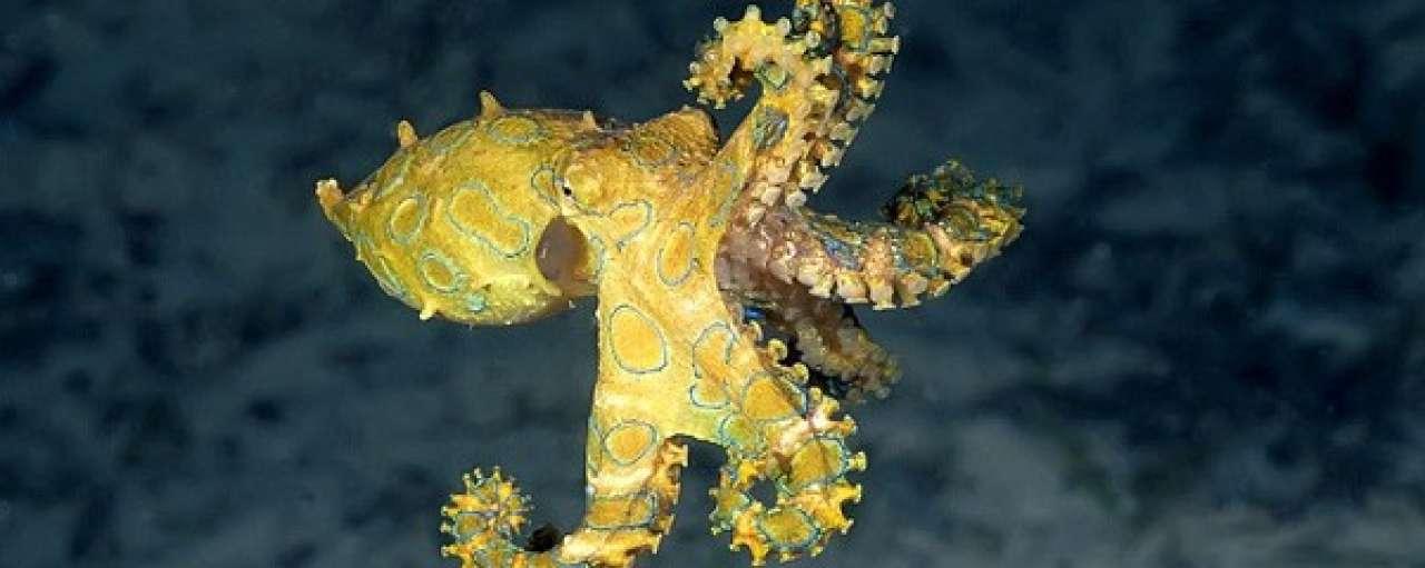 Octopus inspireert snelste onderwaterrobot ooit