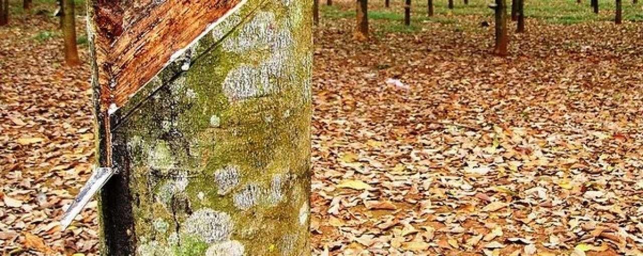 Rubberboom plantage