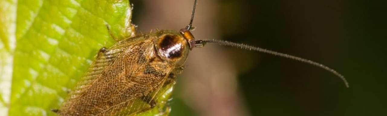 Onderzoekers halen elektriciteit uit kakkerlakken
