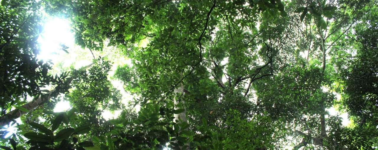 Kalimantan Canopy