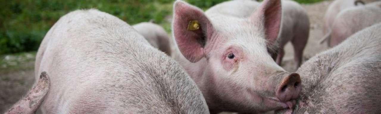 Half miljoen voor verduurzaming Nederlandse varkensboerderijen